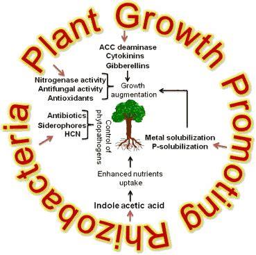 Plant Growth Promoting Rhizobacteria: A Boon to Agriculture